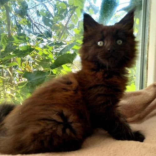 785 Kventin  Maine Coon male kitten