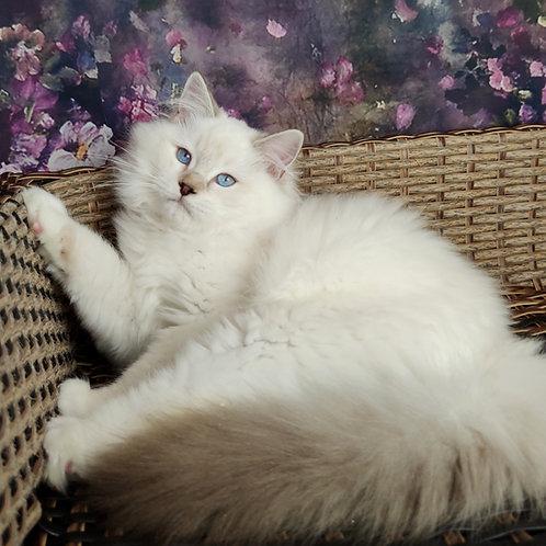 85 Bonya    Ragdoll male kitten