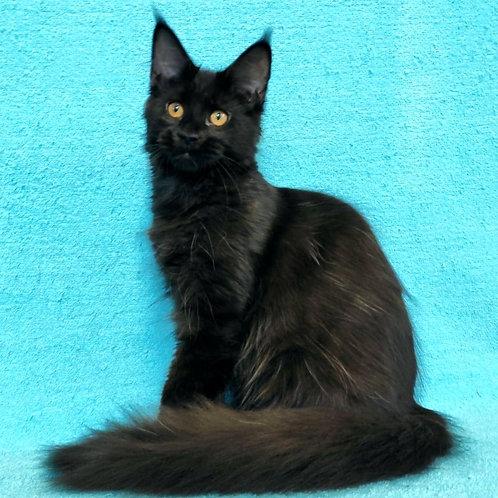 816 Qarina  Maine Coon female kitten