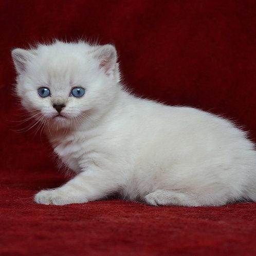 483 Rhea     Scottish straight shorthair female kitten