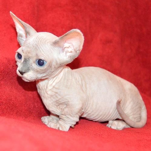 191 Arctica female Bambino  kitten