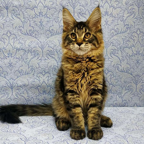 824 Edvard Maine Coon male kitten