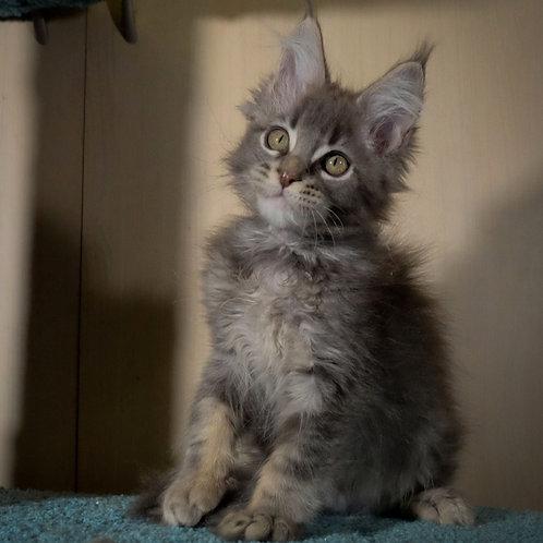 219 Everest  Maine Coon male kitten