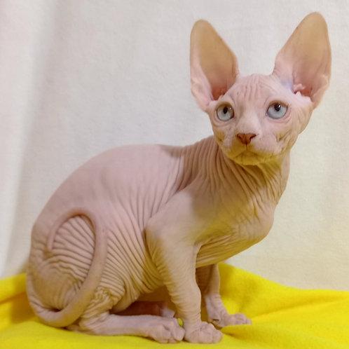 150 Oliver  male Sphinx kitten