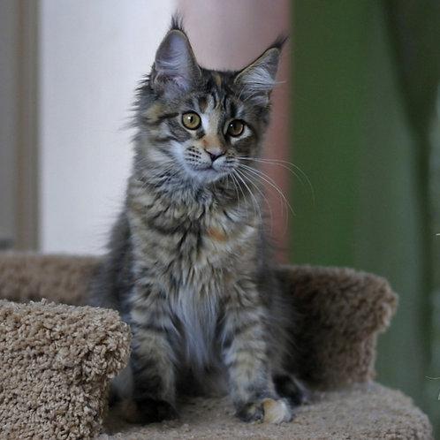 324 Lisana   Maine Coon female kitten