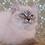 Thumbnail: 319 Optima Siberian female kitten