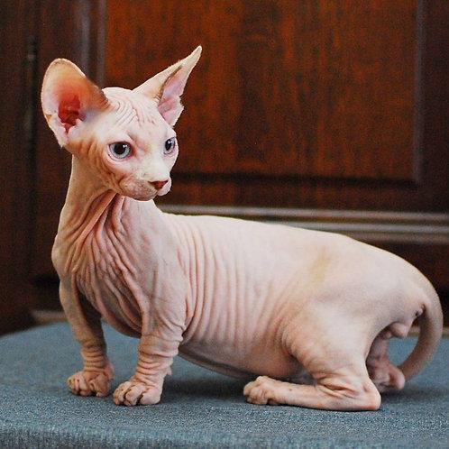 203 Dominik male Bambino  kitten