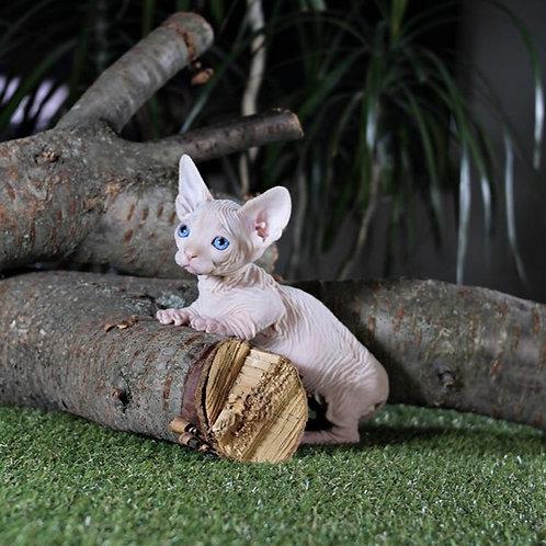 Preston male Bambino kitten