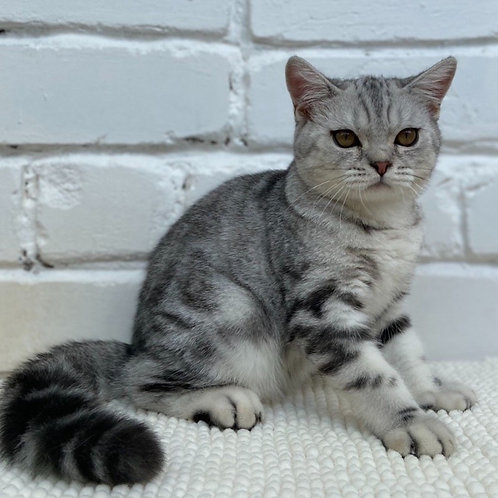 812 Mers  British shorthair male kitten