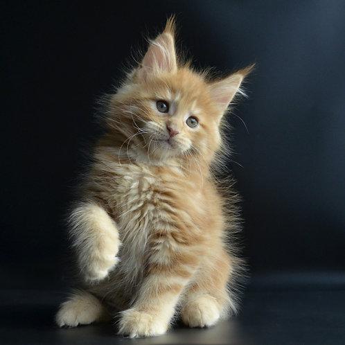 Uzor Maine Coon male kitten