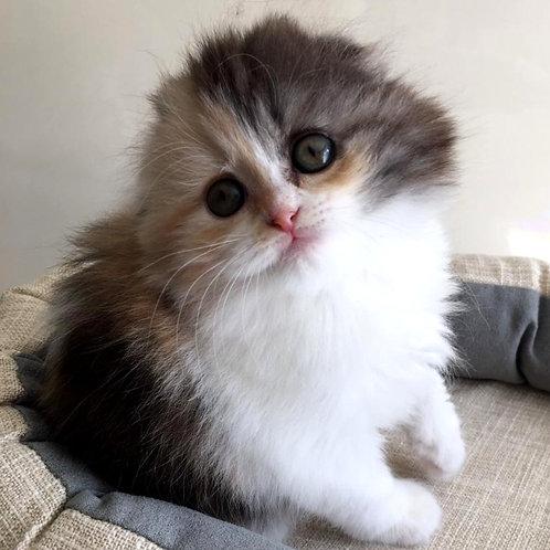 635 Krasotka   Scottish fold longhair female kitten