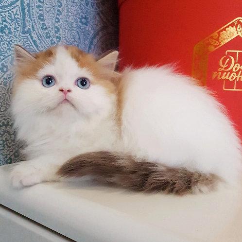 500 Nemo  Scottish straight longhair male kitten