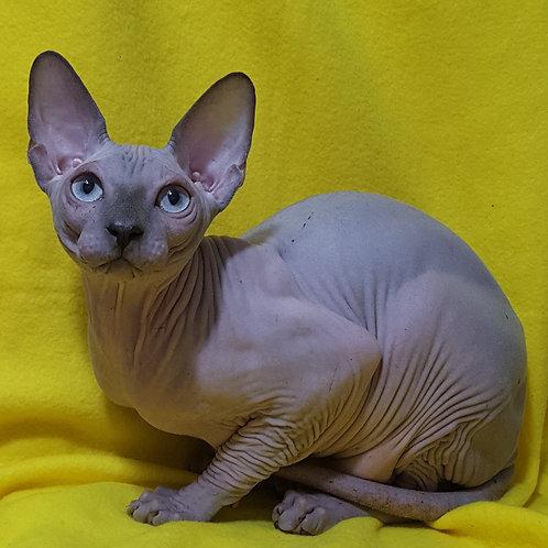 448 Oskar male Sphinx kitten