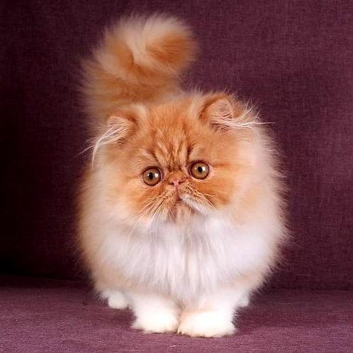158 Irbis Persian  male kitten