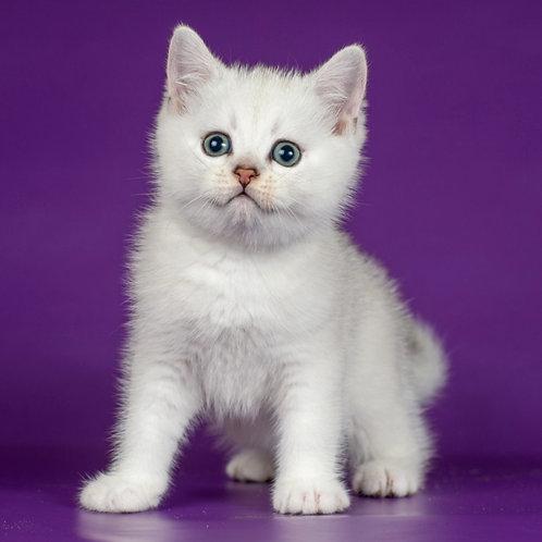 984 Frankleen  Scottish straight shorthair male kitten
