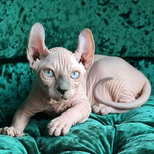 25 Legolas male Elf kitten