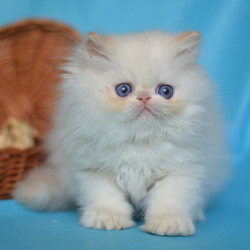 95 Marik   Persian  male kitten