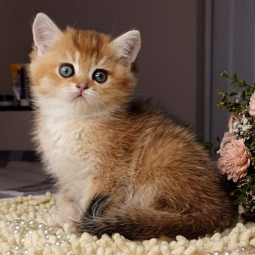 554 Iriska  British shorthair female kitten
