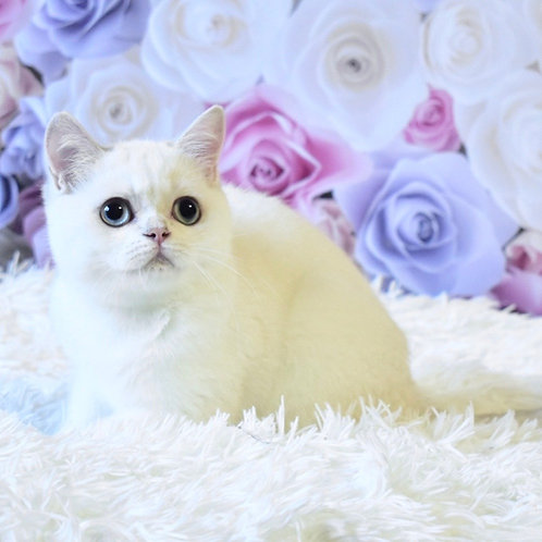 357 Timati British shorthair male kitten