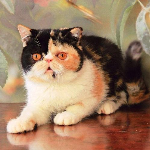 134 Belinda Exotic shorthair female kitten