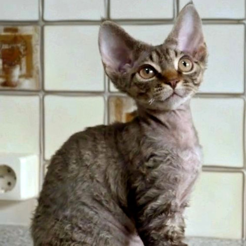 431 Hillari   female Devon Rex kitten