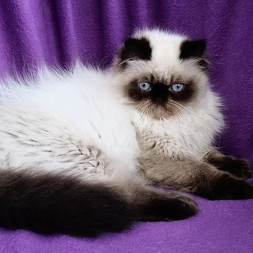 209 Puffi   Persian  male kitten