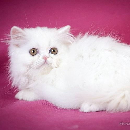 177 Busya   Persian  female kitten