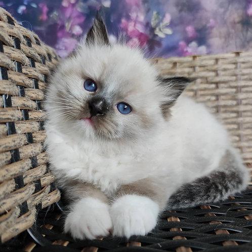 181 Michael  purebred Ragdoll male kitten