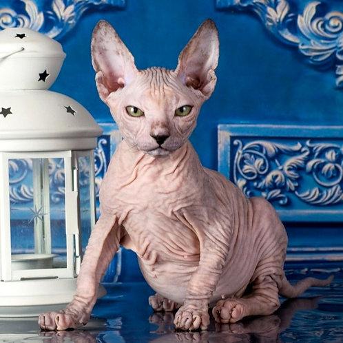 409 Esiya  female Sphynx Donskoy kitten