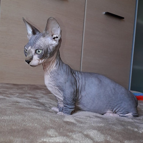 321 Archie male Bambino  kitten