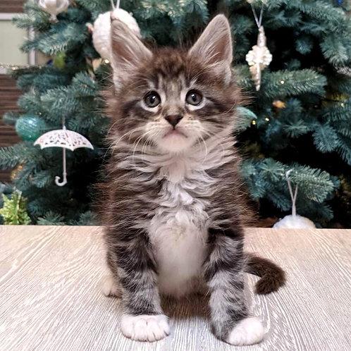 908 Jeffrey Maine Coon male kitten