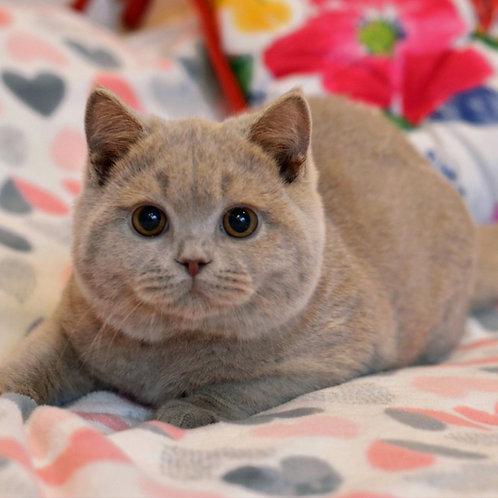 536 Valentino  British shorthair male kitten