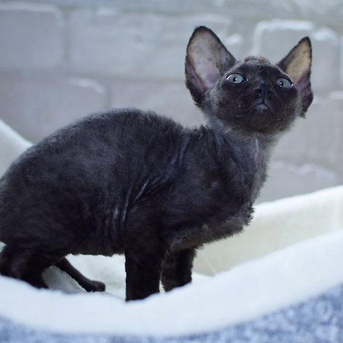 404 Lara Croft female kitten Devon Rex