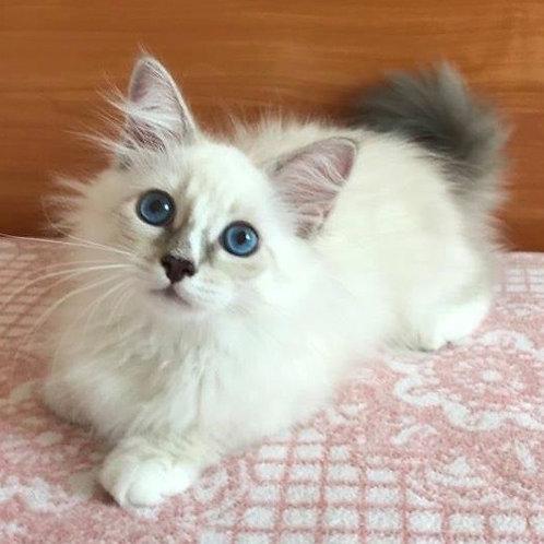 243 Mishelle      Siberian female kitten
