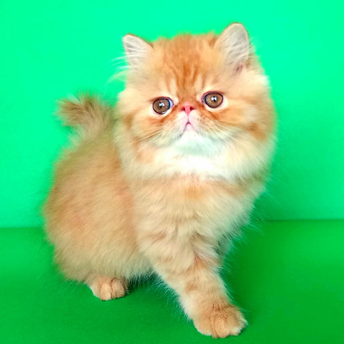 103 Den   Persian  male kitten
