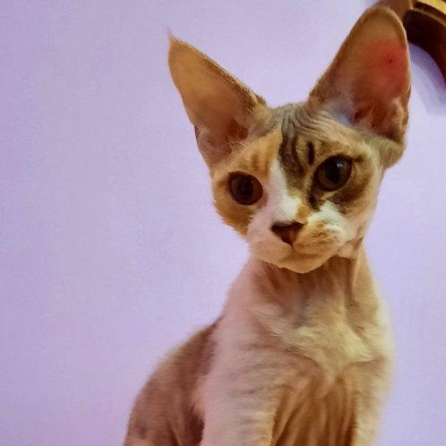 330 Henessi    female kitten Devon Rex