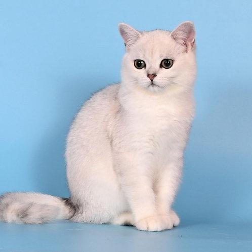 1051 Ubbe  British shorthair male kitten