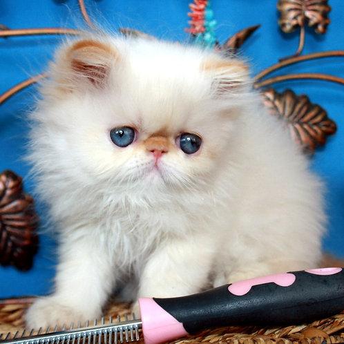 60 Lucas   Persian male kitten