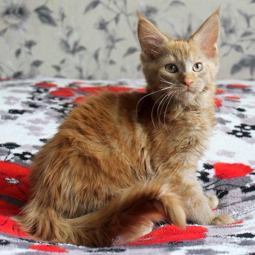 149 Dinara   Maine Coon female kitten