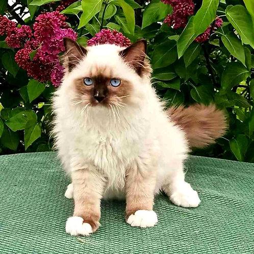 156 Cris    Ragdoll male kitten