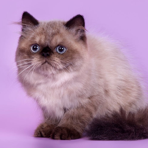 262 Teo Persian  male kitten