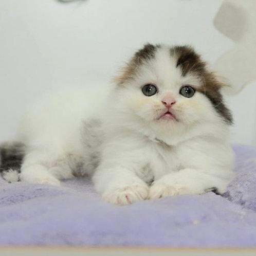 855 Donat   Scottish fold longhair male kitten