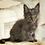 Thumbnail: 505 Pandora  Maine Coon female kitten