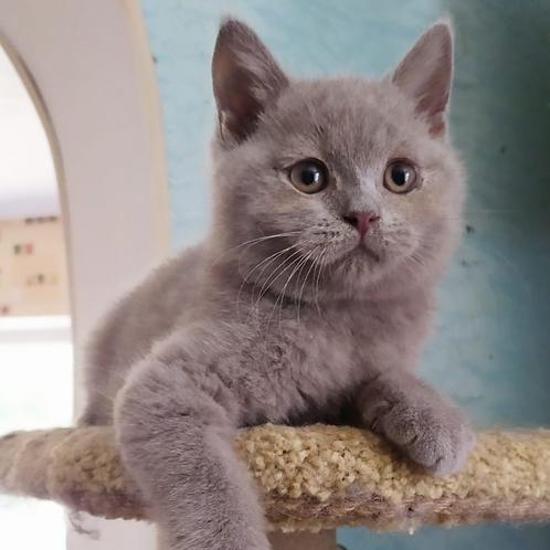 379 Vinsent    British shorthair  male kitten