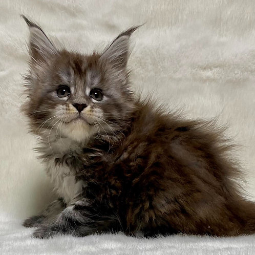 463 Ramera  Maine Coon female kitten
