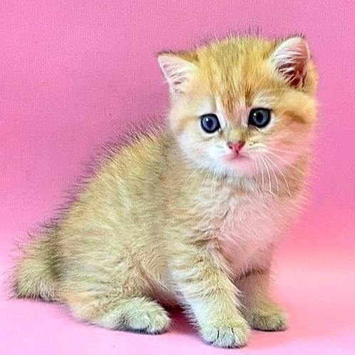 982 Timmy   British shorthair male kitten