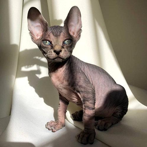 140 Bertha  female Sphinx kitten