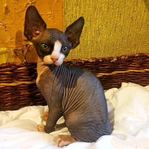 308 Kevin male Sphinx kitten