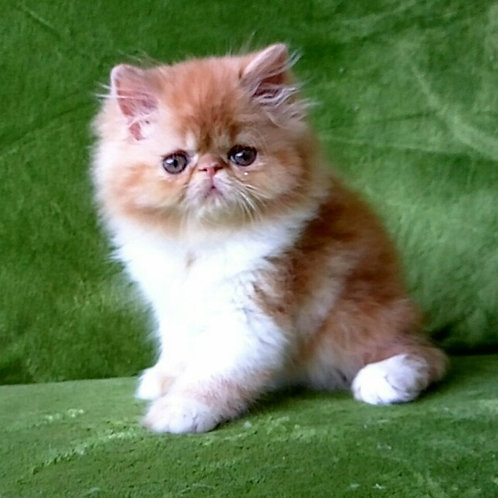 99 Wendy Persian female kitten