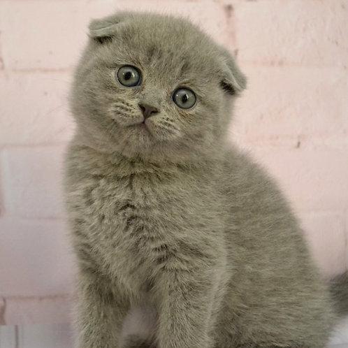 386 Juliet  Scottish fold shorthair female kitten